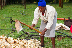 Sorting maize cobs. Woman working as a day laborer sorts and bags corn cobs into sacks Royalty Free Stock Image