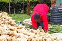 Sorting maize cobs Stock Photos