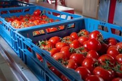 Sorting and packaging line of fresh ripe red tomatoes on vine in stock photo