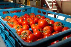 Sorting and packaging line of fresh ripe red tomatoes on vine in. Dutch greenhouse, bio farming Royalty Free Stock Photos