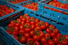 Sorting and packaging line of fresh ripe red tomatoes on vine in. Dutch greenhouse, bio farming Royalty Free Stock Image