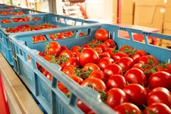 Sorting and packaging line of fresh ripe red tomatoes on vine in. Dutch greenhouse, bio farming stock image