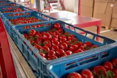 Sorting and packaging line of fresh ripe red tomatoes on vine in royalty free stock photos