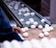 Sorting and packing of chicken eggs at a poultry farm, chicken eggs on a conveyor. Hand stock image