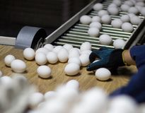 Sorting and packing of chicken eggs at a poultry farm, chicken eggs on a conveyor. Hand royalty free stock photo