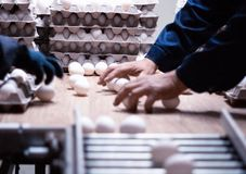 Sorting and packing of chicken eggs at a poultry farm, chicken eggs on a conveyor, hand. Sorting and packing of chicken eggs at a poultry farm, chicken eggs on a royalty free stock photography