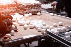Sorting and packing of chicken eggs at a poultry farm, chicken eggs on a conveyor, hand. Sorting and packing of chicken eggs at a poultry farm, chicken eggs on a royalty free stock photos