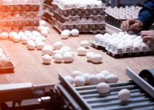 Sorting and packing of chicken eggs at a poultry farm, chicken eggs on a conveyor. Hand royalty free stock images