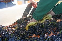 Sorting Pinot Noir Grapes. Freshly harvested grapes being sorted on their way to be crushed royalty free stock images