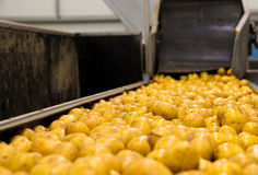 Sorting potato plant. The production line for sorting potatoes Royalty Free Stock Images