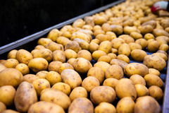 Sorting potato plant. The production line for sorting potatoes Stock Image