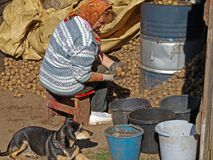 Sorting potatoes. Elderly woman sorting harvested potetoes from stack Stock Photos