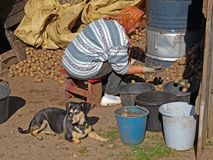 Sorting potatoes 2. Elderly woman sorting harvested potetoes from stack Stock Images