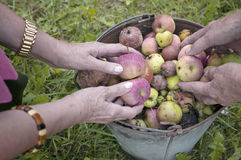 Sorting Ripe Apples. Worker hands sorting spoiled and good apples, a metal basket placed on the grass. Outdoor filtered shot Royalty Free Stock Photography