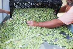 Sorting the ripe green olives. Hands of a man sorting out ripe olives royalty free stock photography