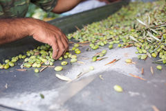 Sorting the ripe green olives. Hands of a man sorting out olives royalty free stock photo
