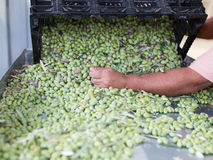 Sorting the ripe green olives. Hands of a man sorting out olives stock photo