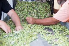 Sorting the ripe green olives. Male hands sorting the ripe green olives royalty free stock image