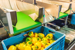 Sorting of yellow bell peppers during harvest Royalty Free Stock Photography
