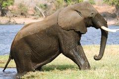 Sortir d'éléphant de l'eau dans la façade d'une rivière de Chobe Photographie stock libre de droits
