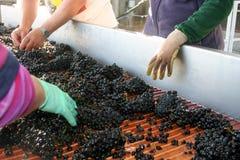 sortowanie winogronowy Fotografia Royalty Free