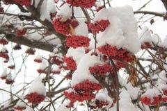 Sorva dos ramos coberta com a neve e as partes de gelo Fotografia de Stock Royalty Free