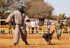 Sorvegli il cane alsaziano preparato, uomo corrente riempito presa giù in sho Fotografia Stock