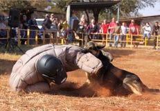 Sorvegli il cane alsaziano preparato, uomo corrente riempito presa giù in sho Fotografie Stock