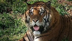 Sorveglianza alta vicina della tigre archivi video
