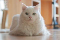 Sorveglianza bianca del gatto Fotografia Stock