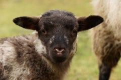 Sorveglianza con testa nera dell'agnello Immagine Stock Libera da Diritti