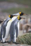 Sorveglianza dei pinguini del re Fotografia Stock Libera da Diritti