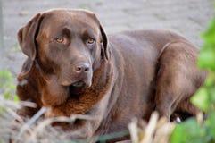 Sorveglianza del cane Fotografie Stock