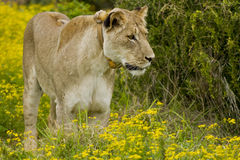 Sorveglianza del Lioness Fotografia Stock Libera da Diritti