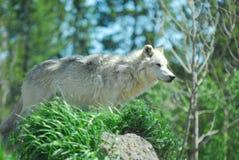 Sorveglianza del lupo grigio fotografia stock libera da diritti