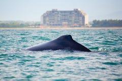 Sorveglianza della balena Immagine Stock
