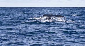 Sorveglianza della balena Fotografie Stock