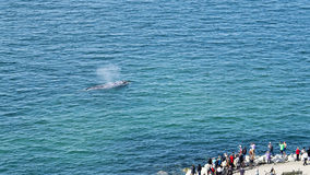 Sorveglianza della balena grigia Immagini Stock