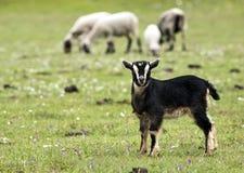 Sorveglianza della capra del bambino Immagini Stock Libere da Diritti