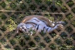 Sorveglianza della tigre attraverso la gabbia Fotografia Stock