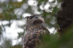 Sorveglianza della vespa di Eagle Owl Fotografie Stock