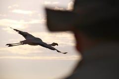 Sorveglianza di uccello cilena del fenicottero Immagine Stock Libera da Diritti