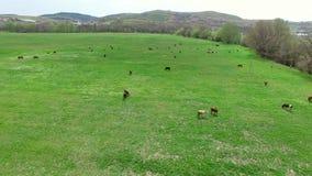Sorvolando un campo verde su cui le mucche pascono Vista dell'occhio del ` s dell'uccello archivi video
