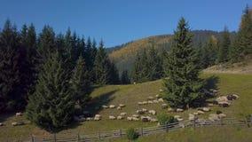 Sorvolare il pascolo con le pecore stock footage