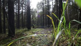 Sorvolare muschio attraverso l'erba nella foresta profonda dell'pino-abete rosso in fasci soleggiati stock footage