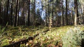 Sorvolare muschio ed erba nella foresta profonda dell'pino-abete rosso in fasci soleggiati stock footage