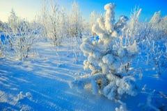 Sosen gałąź zakrywać z mrozem w zimie Fotografia Stock
