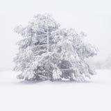 sosna śnieżna Zdjęcia Stock