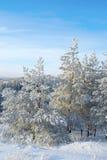 Sosna śnieg zakrywający Zdjęcia Stock