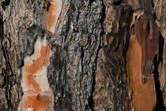 Sosna bagażnika barkentyny tekstura zdjęcie royalty free